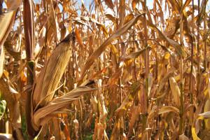 Nebraska-Harvest