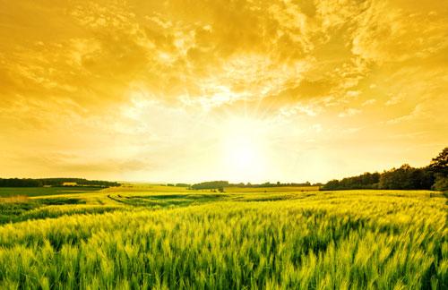 Wheat-Field-small